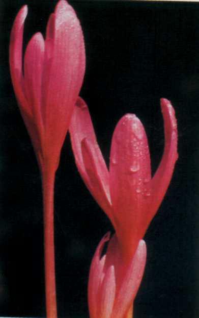 Лікарські рослини Прикарпаття