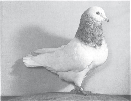 Мясные голуби и домашнее голубеводство