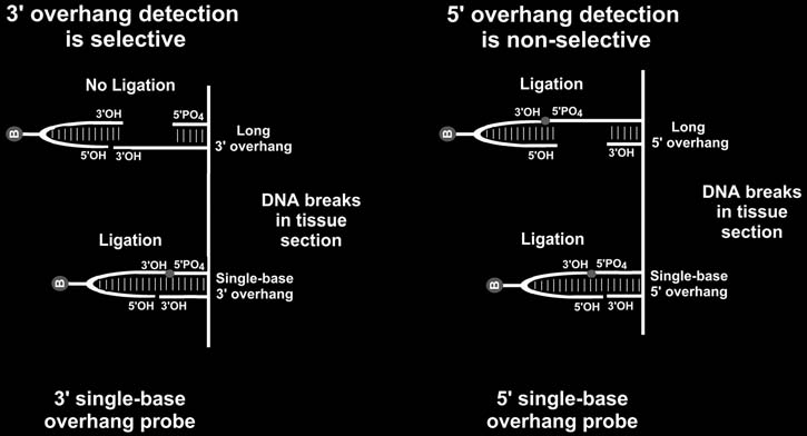 In Situ Detection of DNA Damage Methods and Protocols