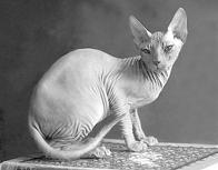 Кошки - сфинксы